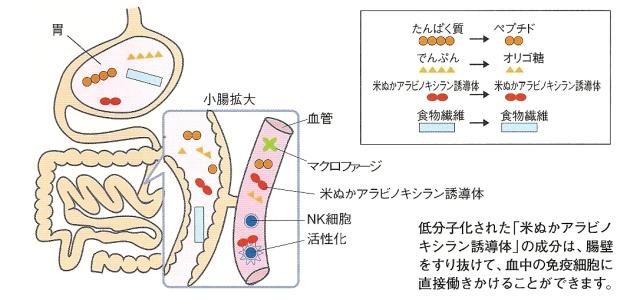 低分子の米ぬか誘導体アラビノキシランは腸から吸収されます